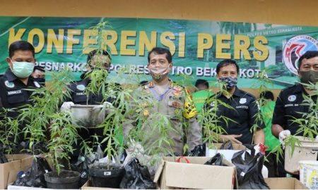 7 Sindikat Narkoba Ditangkap, Polisi Sita 34 Tanaman Pohon Ganja